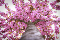 Blooming tree full of pink flowers. Spring season. Stock Photography
