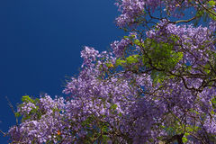 Blooming tree Royalty Free Stock Images