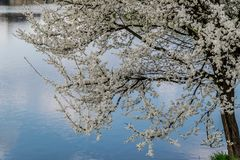 Blooming tree by the lake. Reflection of blue sky in water stock photo