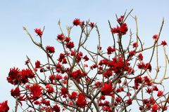 Blooming tree. Tree blooming after loosing most of it's leaves Royalty Free Stock Photography