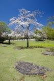 Blooming tree. In Nara park, Japan Royalty Free Stock Images