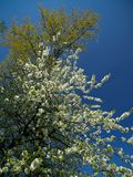 Blooming tree over blue sky Royalty Free Stock Images