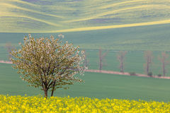 Blooming Tree over yellow and green fields - spring landscape Stock Photos