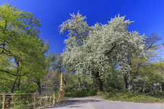Blooming tree in a park in Budapest Royalty Free Stock Image