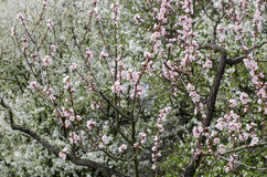 Blooming tree in the park Stock Photography