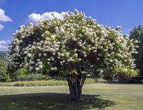 Blooming tree Stock Photo