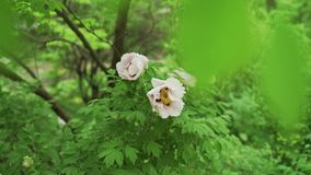 Blooming tree peony after rain. Big white peonies with drops bloom in the spring season. Paeonia rockii. stock video
