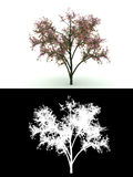 Blooming tree with pink flower isolated on white. 3d render computer graphic blooming tree with pink flower isolated on white background with alpha channel below Royalty Free Stock Photo