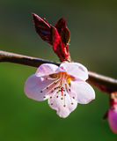 Blooming tree with pink flowers Stock Photography