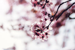 Blooming tree with pink flowers in spring. Spring blossom background Royalty Free Stock Photo