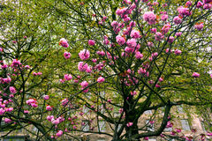 Blooming tree with pink flowers in spring, London, United Kingdom Royalty Free Stock Photo