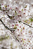 Blooming tree with pink flowers in spring. Springtime. Sunny day stock photos