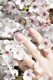 Blooming tree with pink flowers in spring. Springtime. Sunny day stock images