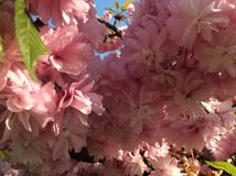 Blooming tree. Pink blooming tree in spring Royalty Free Stock Photos