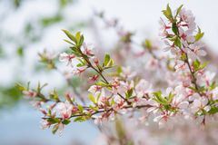 Blooming tree with pink and white flowers. Spring blossom theme.  royalty free stock images