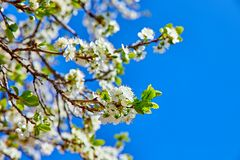Blooming tree plum on background blue sky Royalty Free Stock Images