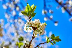 Blooming tree plum on background blue sky Stock Photo