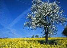 Blooming Tree in Rape-Field #1 Stock Photography