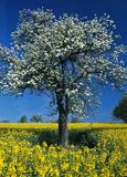 Blooming Tree in Rape-Field #2 Royalty Free Stock Photography