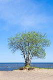 Blooming tree on the seashore Royalty Free Stock Image