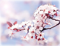 Blooming tree at spring. Fresh pink flowers on the branch of fruit tree, plant blossom abstract background, seasonal nature beauty, dreamy soft focus picture Royalty Free Stock Photos