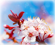 Blooming tree at spring Royalty Free Stock Photography
