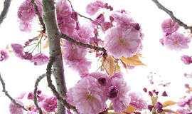 Blooming Tree. Tree blooming in the Spring Stock Images