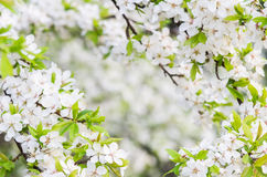 Blooming tree Royalty Free Stock Image
