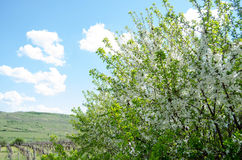 Blooming tree Royalty Free Stock Photos