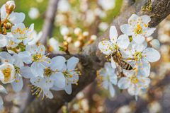 Blooming tree in spring. Bee collecting honey on a flowering tree in spring Stock Photo