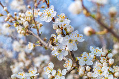 Blooming tree in spring. Bee collecting honey on a flowering tree in spring Royalty Free Stock Photo