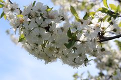 A blooming tree royalty free stock images