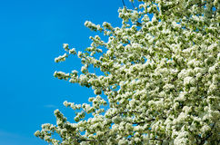 Blooming tree in the spring. Blooming tree in the spring and blue sky Royalty Free Stock Photo