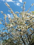 Blooming tree in spring Stock Photos
