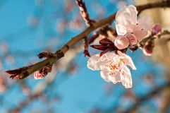 Blooming tree at spring Royalty Free Stock Image