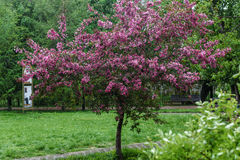 Blooming tree at spring, fresh pink flowers Royalty Free Stock Image