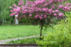 Blooming tree at spring, fresh pink flowers Stock Image