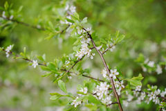 Blooming tree at spring, fresh pink flowers Royalty Free Stock Photography
