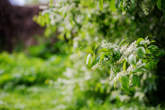 Blooming tree at spring, fresh pink flowers Royalty Free Stock Photo