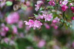 Blooming tree at spring, fresh pink flowers Royalty Free Stock Photos