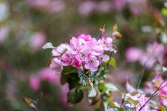 Blooming tree at spring, fresh pink flowers Stock Images