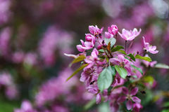 Blooming tree at spring, fresh pink flowers Stock Photography