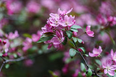 Blooming tree at spring, fresh pink flowers Royalty Free Stock Images