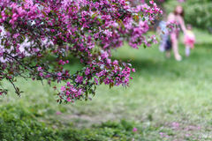 Blooming tree at spring, fresh pink flowers Stock Photos