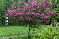 Blooming tree at spring, fresh pink flowers Stock Photo