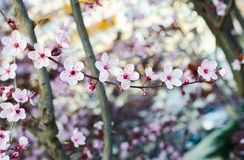 Blooming tree at spring, fresh pink flowers on the branch, plant Stock Photo