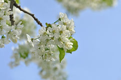 Blooming tree in spring Stock Images
