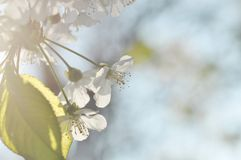 Blooming tree in spring Royalty Free Stock Photo