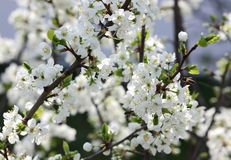 Blooming spring orchard in may. Blooming tree in spring garden on sky background Royalty Free Stock Image