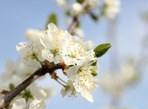 Blooming spring orchard in may. Blooming tree in spring garden on sky background Stock Photo